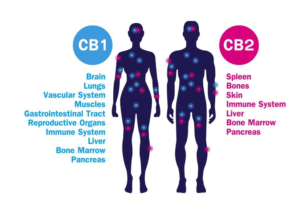 How does CBD work | Balance CBD